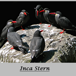 Inca Stern 2