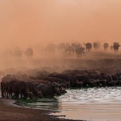 Kenia bizons
