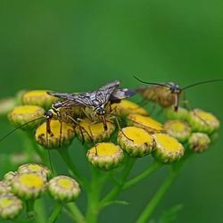7B5A2008--Schorpioenvliegen