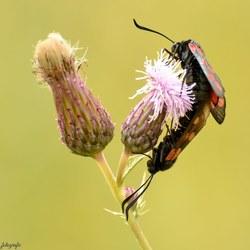 Sint jans vlinders