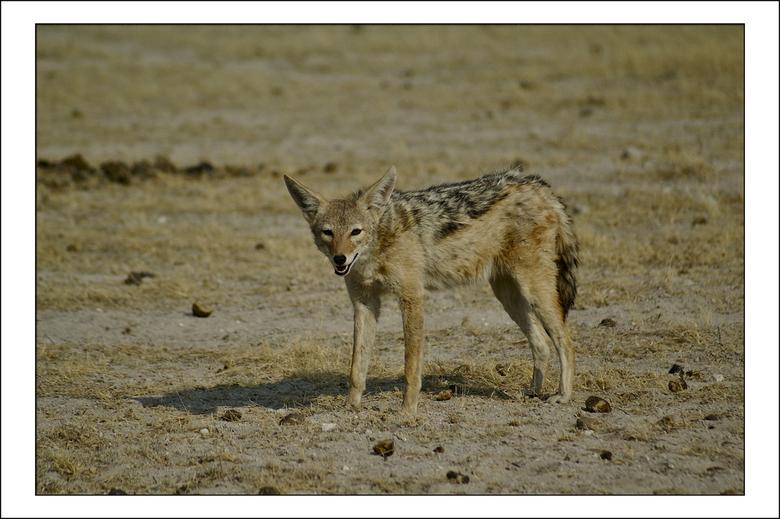 Jakhals - Zadeljakhals<br /> Dit dier lijkt qua lichaamsbouw op een hond.<br /> De zadeljakhals leeft op open savannen en in droge, met acacia&#039;
