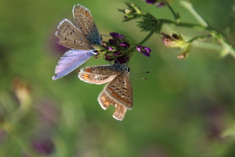 Twee blauwtjes - Ben je bezig met één vlinder krijg je de tweede cadeau!