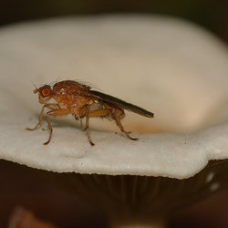 Scatophaga Stercoraria (Strontvlieg)