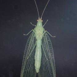 Gaasvlieg in het donker