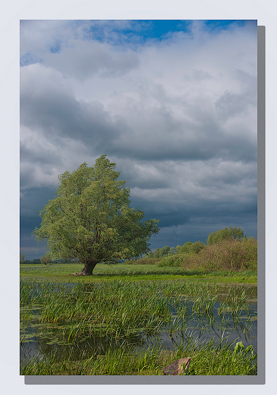 Eenzame boom - in het overstromingsgebied van de Warta.