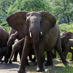 Ouderlijke bescherming van de kudde olifanten.