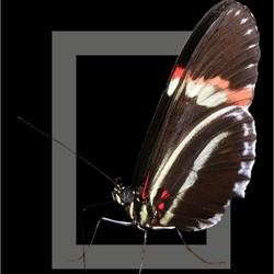 Vlinder .......