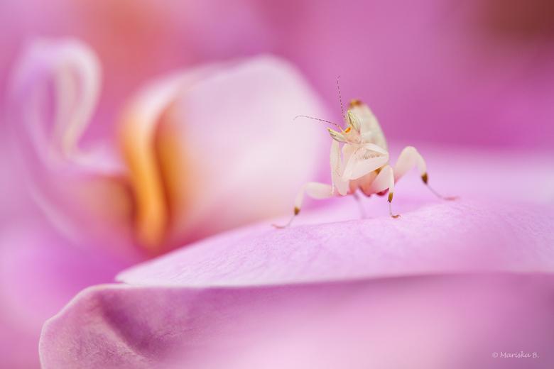 Orchidee bidsprinkhaantje