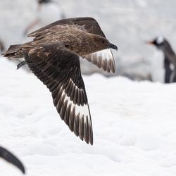 Subantarctische Grote Jager