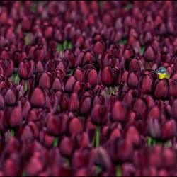 Gele kwikstaart tussen de tulpen.