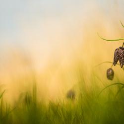 Wilde kievitsbloemen
