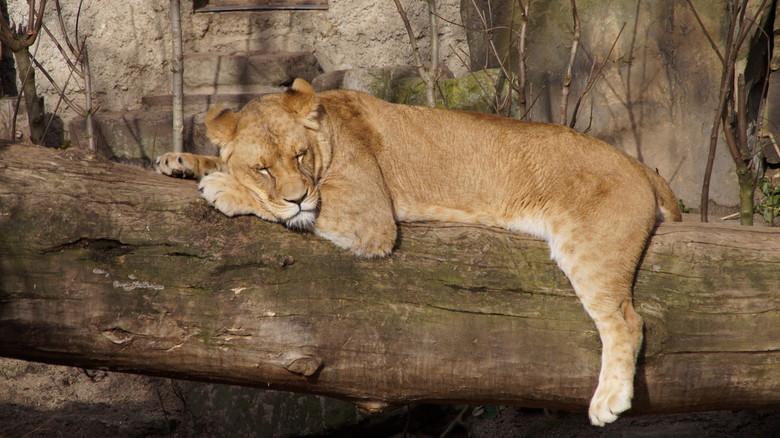 Leeuw -