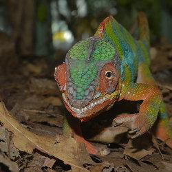 Panterkameleon.