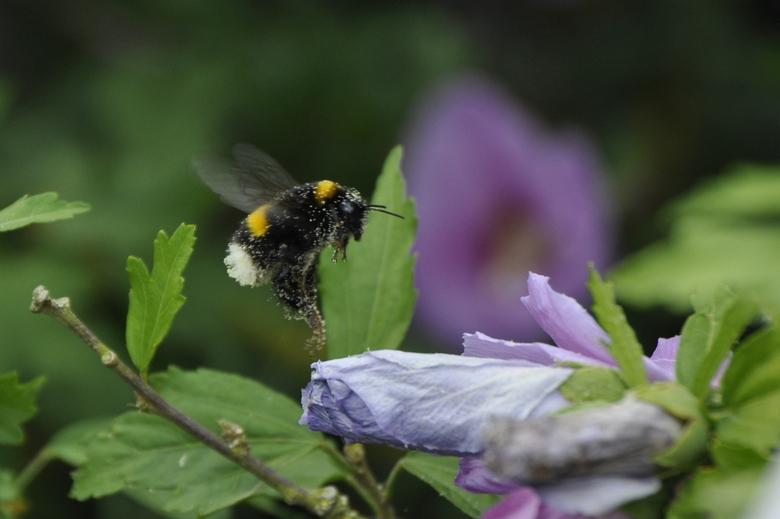 flying bee - bijtje in volle actie met het verzamelen van stuifmeel