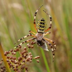 Wesp-spin met prooi