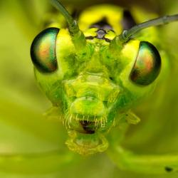 Groene Zaagwesp