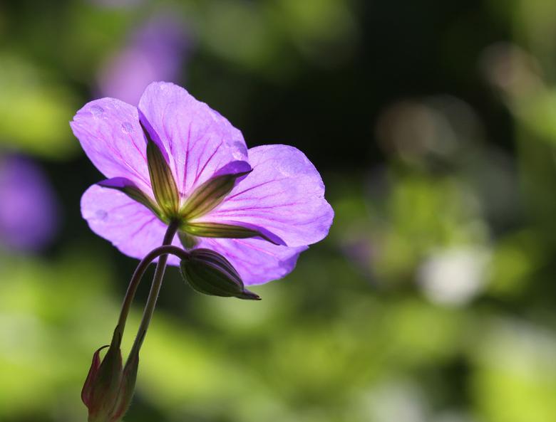 Geranium na de regen in de zon - Ja ik weet het, ik publiceerde al eerder deze geranium soort op zoom. Maar deze vind ik zelf erg mooi. Na een hoosbui