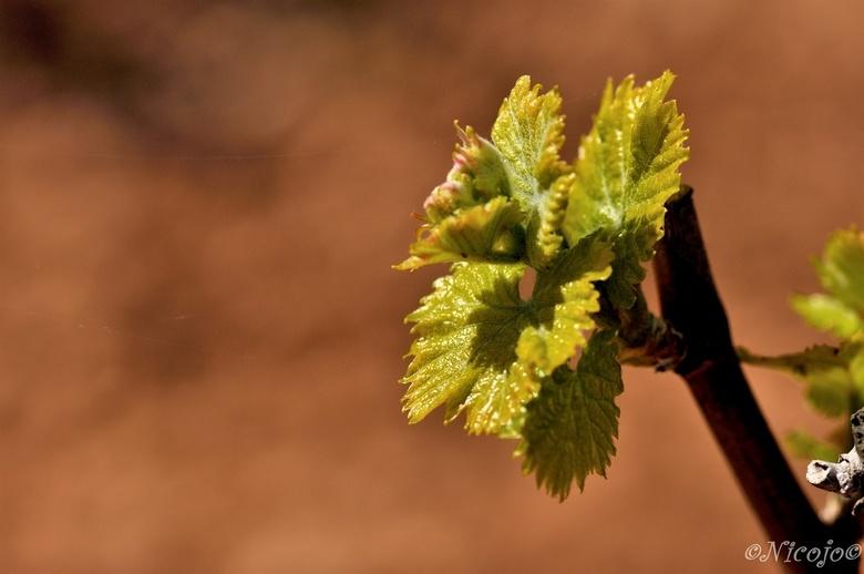 De druif loopt ook uit..... - Alles wordt weer groen, de bermen kleuren, de eerste klaprozen al gezien.<br /> <br /> Bedankt voor al jullie adviezen