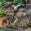 Chinese Kraanvogel in Avifauna