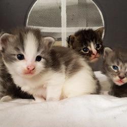 Mai e coon kittens