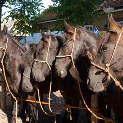 Paardenmarkt Alblasserdam