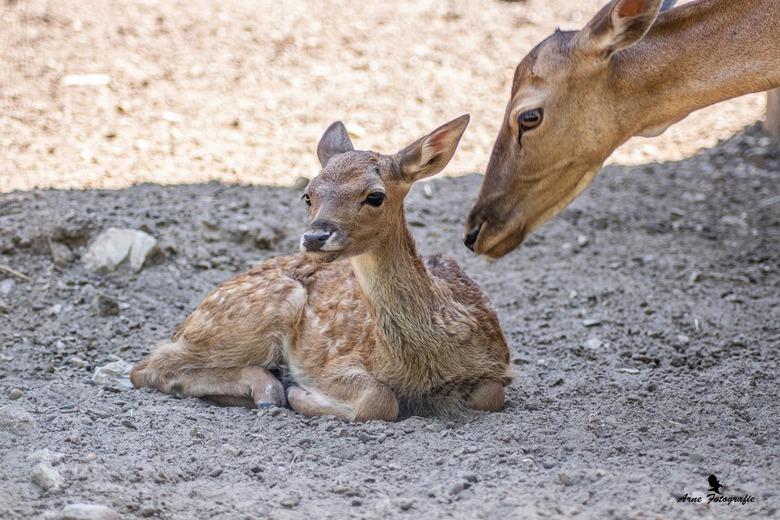 Bambi in het echt  - Bambi in het echt <br />