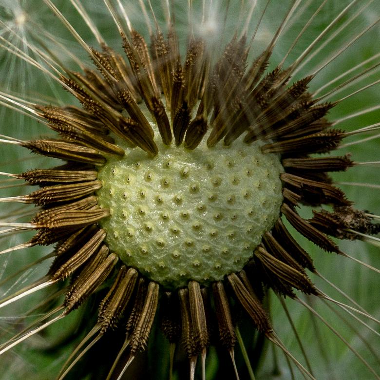 Detail pluizebol