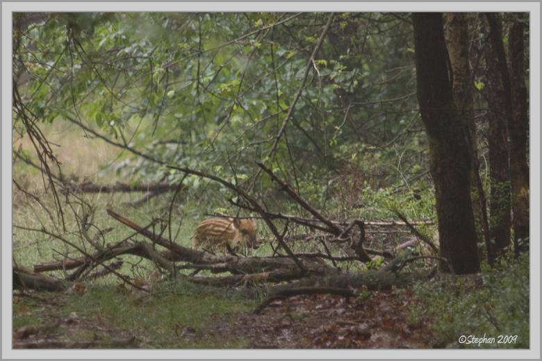 Pyama biggetje - Het eerste pyama biggetje van 2009 die ik voor het eerst hebt gezien en redelijk op de foto hebt weten te krijgen, tussen de boomjes