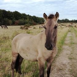 Konikpaard in Elst (U)