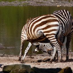 Stoeiende zebra's