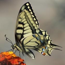Vlinder achter het hek