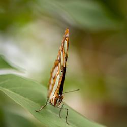 Malachietvlinder (Siproeta stelenes)