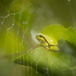 Dreamy little treefrog