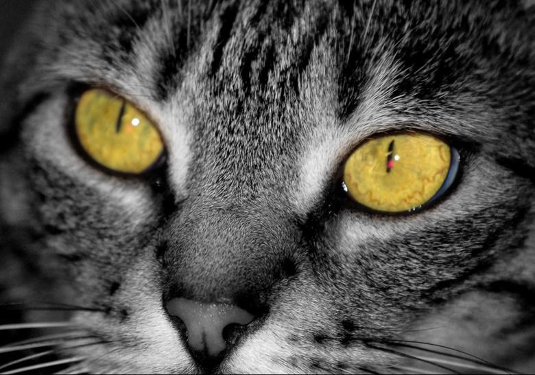 Dulce - Mijn kat met prachtige gele ogen, die ik hier nog iets feller heb gemaakt.