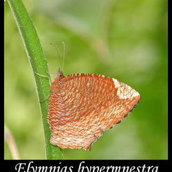 Elymnias hypermnestra agina