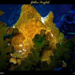 Yellow Frogfish