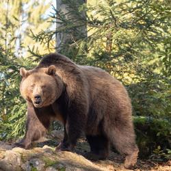 Machtige beer
