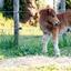 Shetland-veulen, 2 weken oud