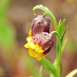 Fritillaria michailovskyi  in de regen I
