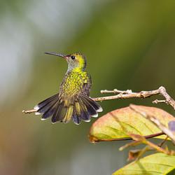 suriname kolibri in de zon.jpg
