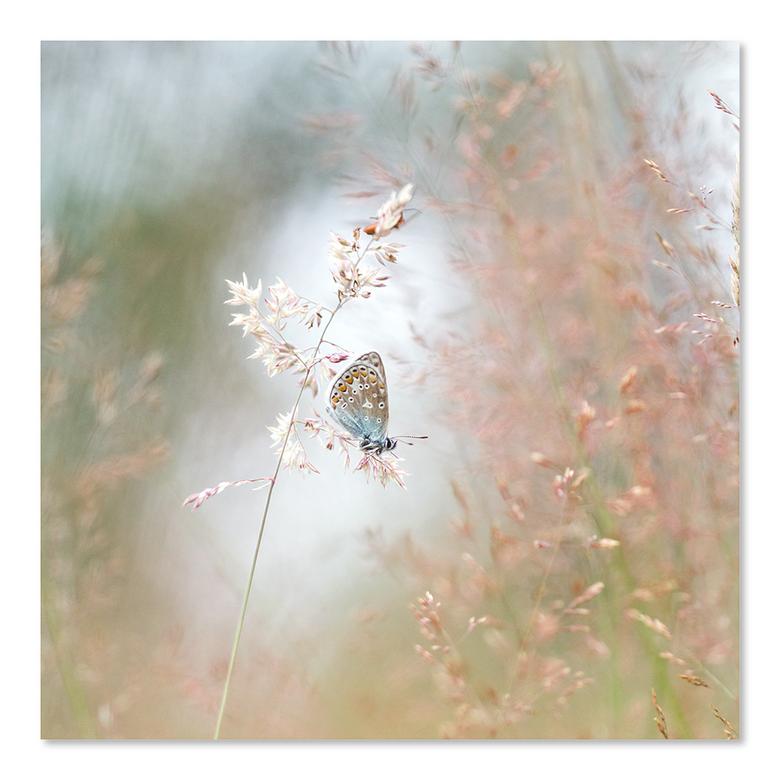 Blauwtje in spotlight - Vierkante uitsnede gemaakt omdat het vlindertje dan echt in het midden staat, in het licht met een kader van grassen.