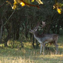 Burlende damhertenbok