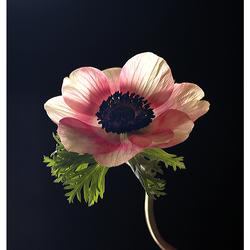 anemone light