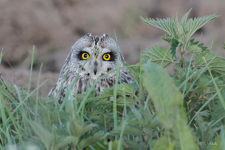 Oogcontact - Ik blijf (veld)uilen geweldig vinden. De manier waarop ze jagen, je aankijken. Ik kan er uren naar kijken. Dit was weer genieten!