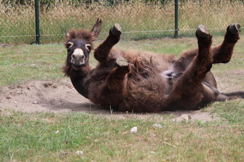 Joehoe! - Mijn ezel die ik fotografeerde tijdens het rollen
