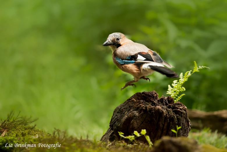 Jump for joy - Jump for joy moet deze vrolijke gaai gedacht hebben. <br /> <br /> Deze foto heb ik gemaakt in de bos/vogel hut in Hoenderloo. Het wa