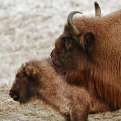 Europese bison blackwhite color@zoom