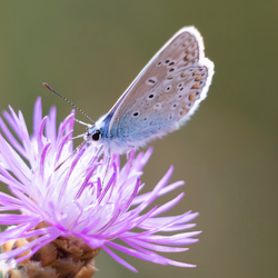 Icarusblauwtje op distel