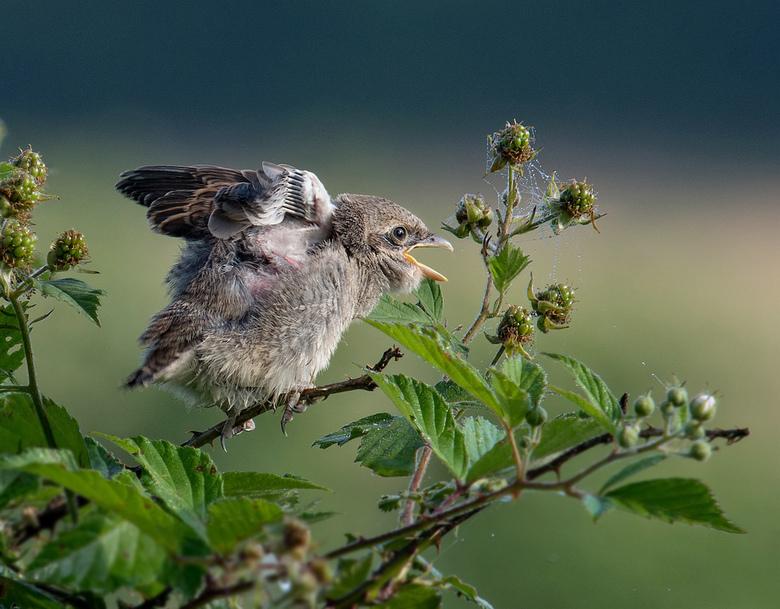 Grauwe klauwier - Deze zomer een tijdje de Grauwe Klauwier kunnen volgen met 2 jonge vogels. Hier een jonge vogel, wachtend op de ouders met voer.