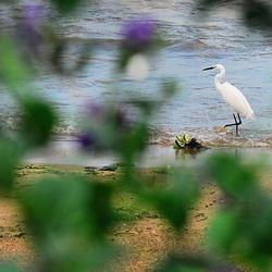 Witte reiger aan Victoriameer (Oeganda)